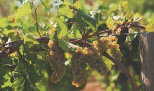 Виноградный рай